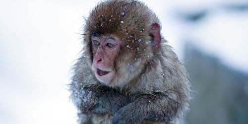 Dingin, Monyet Jepang Berendam Air Hangat