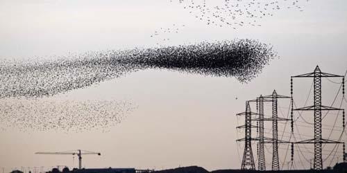 Formasi Unik Segerombolan Koloni Burung Jalak