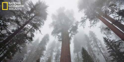Sequoaia Pohon Terbesar Kedua di Dunia