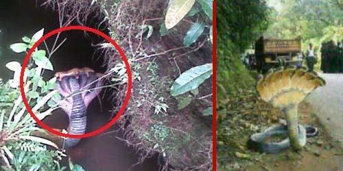 Ditemukan Ular Berkepala 7 di Sulawesi Selatan