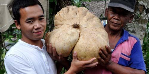 Heboh, Temuan Bengkuang Raksasa di Lereng Gunung Merapi