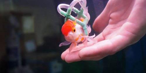 Ikan Mas Koki Ini Berenang Dengan Pelampung Buatan