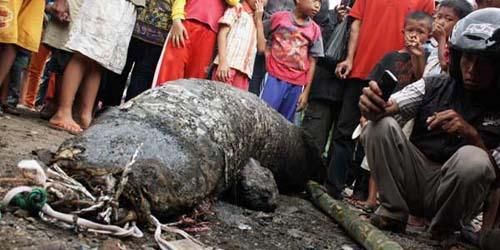 Ikan Raksasa di Sungai Cimanuk Hebohkan Garut