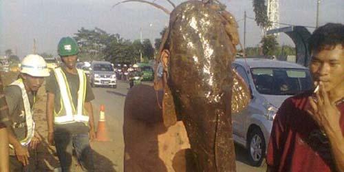 Lele Seberat 50 Kilo Ditemukan Warga Bogor