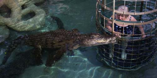 Nenek 73 Tahun Berenang Bersama 3 Ekor Buaya Buas