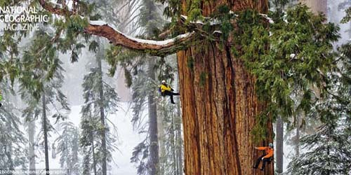 Sequoia Pohon Raksasa Terbesar Kedua di Dunia dan Berumur 3.200 tahun
