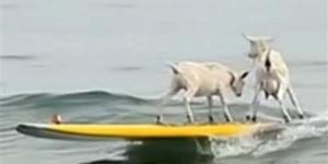 2 Kambing Jadi Atlet Surfing