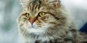 Demi Kucing, Wanita Siberia Bunuh Suami