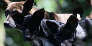 'Disnakanlut' Bali Galakan Program KB untuk Anjing Liar