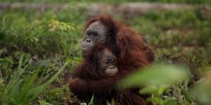 Ibu Orang Utan Lindungi Anaknya Dari Para Pemburu di Kalimantan