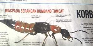 Manfaat Serangga Berbahaya Tomcat Bagi Petani