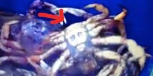 Penampakan Wajah 'Osama Bin Laden' di Perut Kepiting