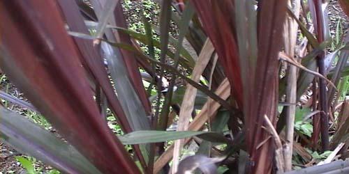tanaman pengusir sihir dan santet