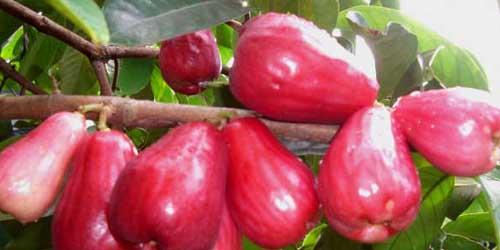 10 Tanaman Penangkal Santet: Jambu Dersono