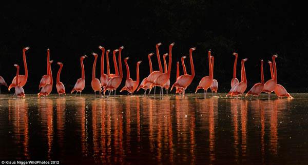 Sekelompok Flamingo