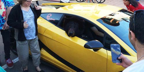 Heboh Seekor Beruang Naik Lamborghini