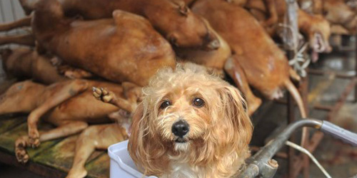 Rayakan Festival Musim Panas, Masyarakat China Sembelih Ribuan Anjing
