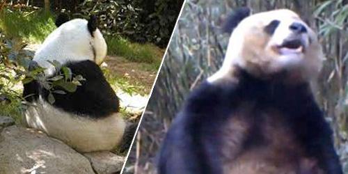 Heboh Panda Kesepian Masturbasi di China