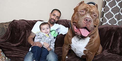 Hulk, Pitbull Raksasa Berat 78,6kg