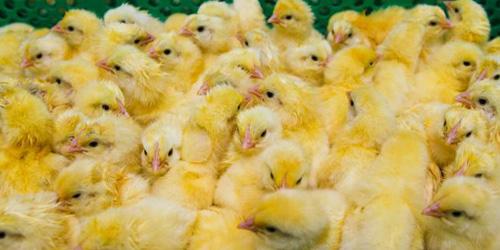 Kerja Nyortir Jenis Kelamin Ayam, Gaji Rp 794 Juta Sepi Peminat