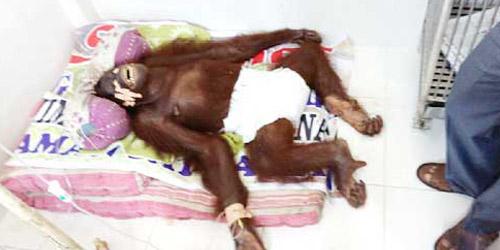 Sari, Orangutan di Sawahlunto Tewas Diperkosa Dua Pejantan