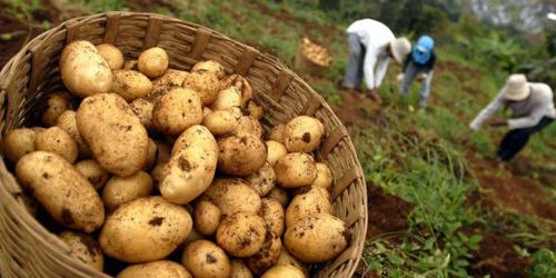 Kentang, Salah Satu Sayuran Bikin Berat Badan Naik