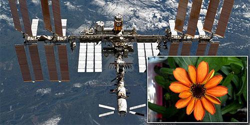 Astronot Berhasil Tumbuhkan Bunga Pertama di Antariksa
