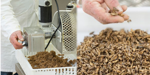 Baru, Pasta Serangga Terbuat Dari Belalang & Jangkrik