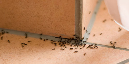 4 Cara Alami Usir Semut