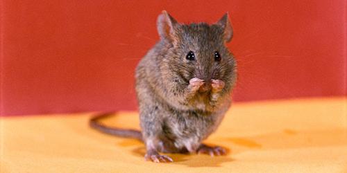 Cara Mudah Usir Tikus dengan Merica