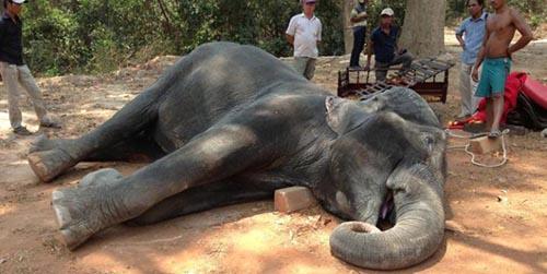 Kelelahan Bawa Turis, Gajah di Kamboja Mati