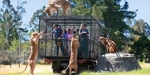 Uji Andrenalin di Kebun Binatang, Menjadi 'Santapan' Singa Liar