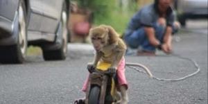 Jakarta Bebas Topeng Monyet, Monyet Dirazia dan Diganti Rp 1 Juta