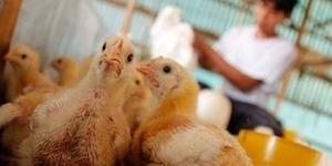 Mengenal H7N7: Varian Baru Virus Flu Burung yang Mematikan!