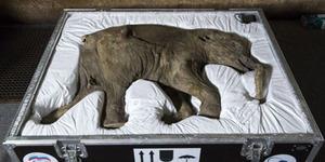 Lyuba, Fosil Bayi Mammoth Utuh Dipamerkan di Museum London