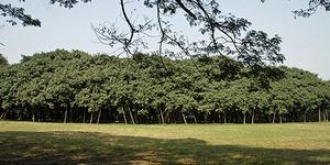 The Great Banyan Tree, Pohon Terbesar di Dunia Lebih Luas dari Lapangan Tenis