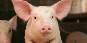 Heboh Video Bocah Bali Setubuhi Babi