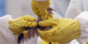 18 Ribu Unggas di China Mati Mendadak Akibat Virus Flu Burung H5N6