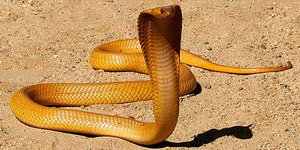 Diteror Ular Kobra Lepas dari Penangkaran, Kota di Belanda Siaga