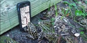 Layar iPhone Bikin Kawanan Kodok Tertipu