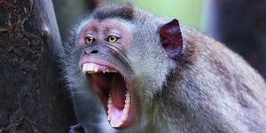 Nenek Buang Hajat Diserang Monyet 'Jadi-Jadian'