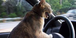 Kucing Ini Bersuara Klakson Mobil?