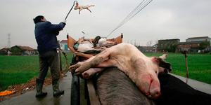Bangkai Babi Dibuang di Pelataran Masjid di India