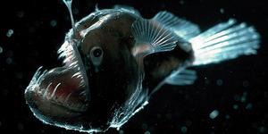 Foto Mengerikan Ikan 'Iblis Hitam Lautan'