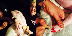 Foto Miley Cyrus Warnai Kuku Babinya Dikecam Pecinta Hewan