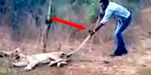 Foto: Petani India Selamatkan Singa Yang Terluka Parah
