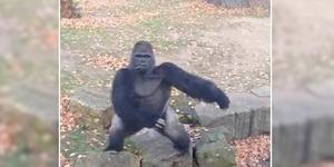 Direkam Video, Gorila Ngamuk dan Lempari Pengunjung dengan Batu