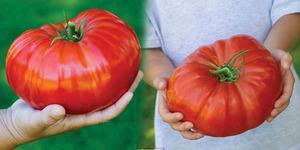 Inggris Panen Tomat Gigantomo Terbesar Sedunia Bobot 1,3 Kg