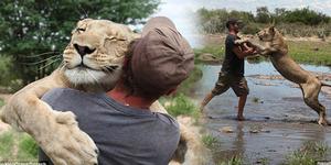 Mengharukan, Singa Memeluk Pria Penyelamat Nyawanya