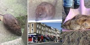 Teror Tikus Sebesar Kucing Resahkan Warga Inggris